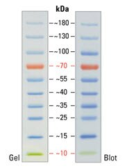 SDS-PAGE band profile of the PageRuler Prestained Protein Ladder