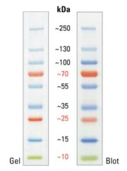SDS-PAGE band profile of the PageRuler Plus Prestained Protein Ladder