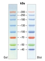 SDS-PAGE band profile of the Spectra Multicolor High Range Protein Ladder