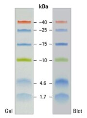 SDS-PAGE band profile of the Spectra Multicolor Low Range Protein Ladder