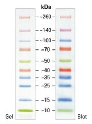 SDS-PAGE band profile of the Spectra Multicolor Broad Range Protein Ladder