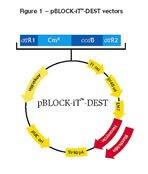 Figure 1 - pBLOCK-iT™-DEST vectors