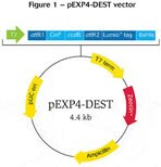 Figure 3 - pEXP4-DEST vector
