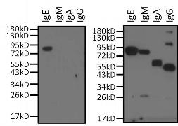 Goat IgG (H+L) Cross-Adsorbed Secondary Antibody (31400)