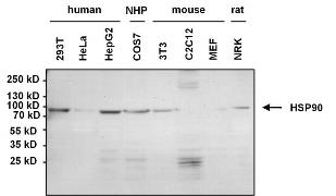 Mouse IgG, IgM (H+L) Cross-Adsorbed Secondary Antibody (31446)