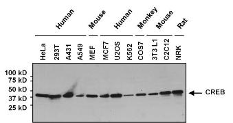 Mouse IgG (H+L) Secondary Antibody (32430)