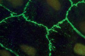 ZO-1 Antibody (33-9100)