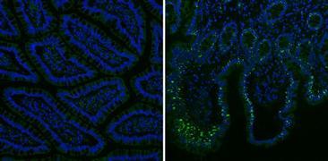 Mouse IgG (H+L) Secondary Antibody (35502)