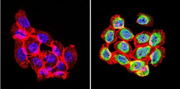 Rabbit IgG (H+L) Secondary Antibody (35552)