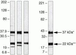 Syndecan 4 Antibody (36-3100)