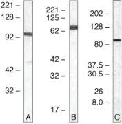TLR5 Antibody (36-3900)