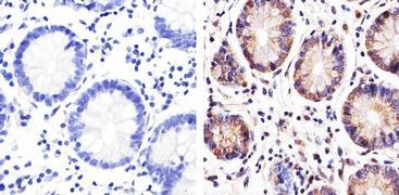 ZO-3 Antibody (36-4000)