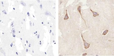 Connexin 47 Antibody (36-4700)