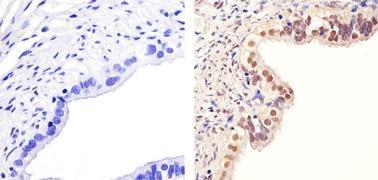 Phospho-PAX2 (Ser393) Antibody (36-9200)