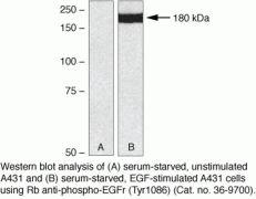 Phospho-EGFR pTyr1086 Antibody (36-9700)