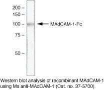 MAdCAM1 (soluble) Antibody (37-5700)