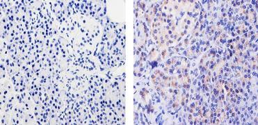 Cyclophilin B Antibody (37-0600)