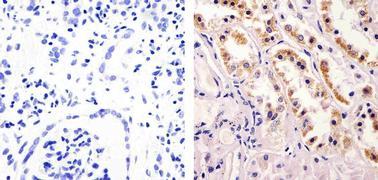 nNOS Antibody (37-2800)