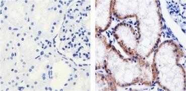 Claudin 1 Antibody (37-4900)