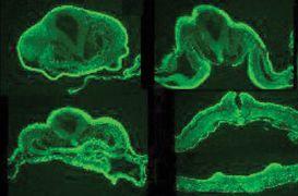WNT6 Antibody (38-3400)