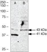 WNT2B Antibody (38-3500)