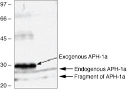 APH1 Antibody (38-3600)