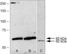 AMPK gamma-2 Antibody (38-4200)