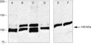 SMURF1 Antibody (38-7900)