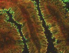 Claudin 15 Antibody (38-9200)
