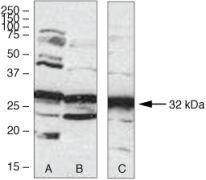 Aurora C Antibody (38-9400)