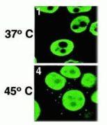 HuR Antibody (39-0600)