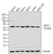 AKT2 Antibody (39-3900)