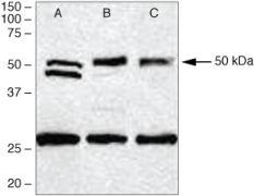 PDGF-D Antibody (40-2100)