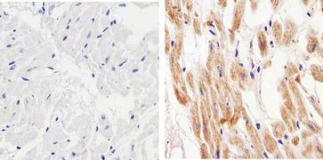 Connexin 57 Antibody (40-5000)