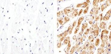 Connexin 30.2 Antibody (40-7400)