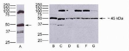 JAM3 Antibody (40-8900)