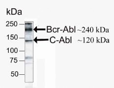 c-Abl Antibody (41-2900)