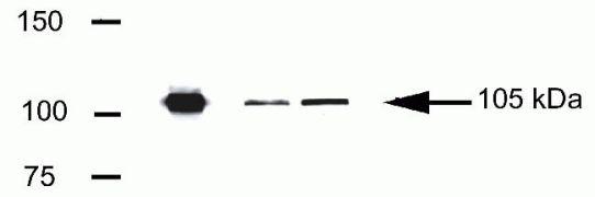 LSD1 Antibody (41-3300)