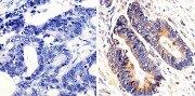 K-Ras Antibody (415700)