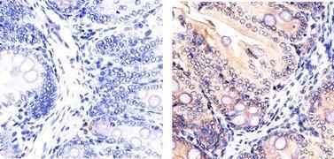 SMAD7 Antibody (42-0400)