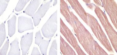 Pannexin 2 Antibody (42-2800)