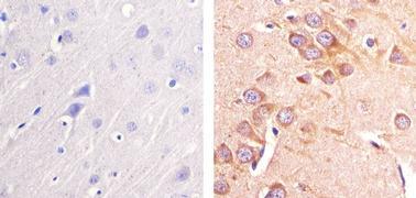 Pannexin 2 Antibody (42-2900)