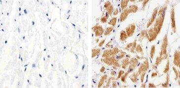 Connexin 37 Antibody (42-4400)