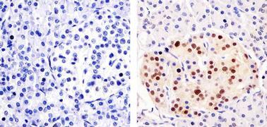 PAX6 Antibody (42-6600)