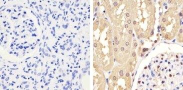 GAPDH Antibody (437000)
