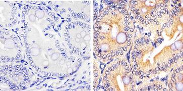 Caspase 3 Antibody (43-7800)