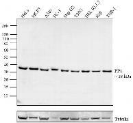 PP1 alpha Antibody (43-8100)
