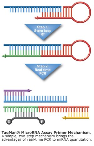 TaqMan® MicroRNA Assay primer mechanism.