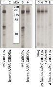 Phospho-VEGF Receptor 2 (Tyr1054) Antibody (44-1046)