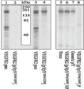 Phospho-VEGF Receptor 2 pTyr1054 / pTyr1059 Antibody (44-1047G)